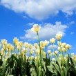 White tulips bloom in the spring sun — Stock Photo
