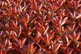 Red fresh leaves background — Stock Photo