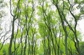 春の公園柳発芽 — ストック写真