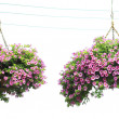 Two morning glory flower baskets in the hanging, — Stock Photo