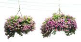 Deux paniers de fleurs Ipomée dans la pendaison, — Photo