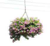 The morning glory flower baskets — Stock Photo
