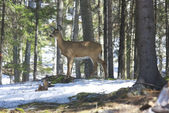Whitetails deer in its natural habitat i — Stock Photo
