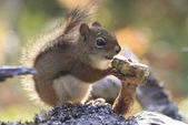 Red squirrel side view — Stock Photo