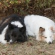 Two tri-color shetland sheepdog sleeping — Stock Photo