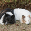 Stock Photo: Two tri-color shetland sheepdog sleeping