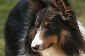 Tri-color shetland sheepdog — Stockfoto