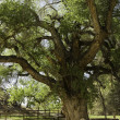 Old gnarled tree — Stock Photo #39508991