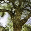 Old gnarled tree — Stock Photo #39508997
