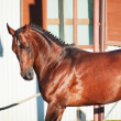 Running elite breed germstallion — Stock Photo #12007192