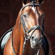 Portrait of beautiful dressage horse - Stock Photo