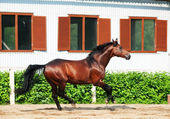 Galloping bay sportive breed horse in open manege — Stock Photo
