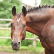 Portrait of beautiful sportive horse in paddock — Stock Photo