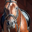 Portrait of beautiful bay dressage  horse — Stock Photo
