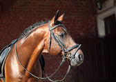 Portrait of beautiful breed dressage horse — Stock Photo