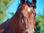 Portrait of amazing stallion in movement closeup — Stock Photo