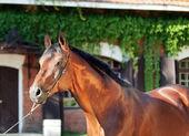 Portrait of amazing breed german stallion — Stock Photo