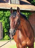 Portrait of amazing breed stallion — Stock Photo