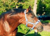 Retrato do garanhão de raça maravilhosa trakehner — Foto Stock