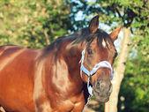 Portrét krásné koně v modrou ohlávku — Stock fotografie
