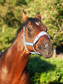 Funny portrait of wonderful breed sportive stallion — Stockfoto