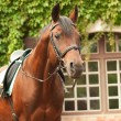 Wonderful breed dressage bay stallion front stable - Stock Photo