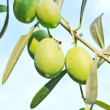 Olive fruit tree — Stock Photo