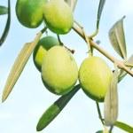 Olive fruit tree — Stock Photo