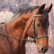 Beautiful bay sportive horse autumn portrait — Stock Photo #13830231