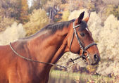 Beautiful bay sportive stallion autumn portrait — Stock Photo