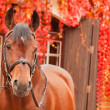 Beautiful bay sportive horse autumn  portrait — Стоковая фотография