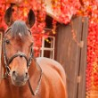 Beautiful bay sportive horse autumn portrait — Stock Photo