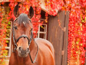 Beautiful bay sportive horse autumn portrait — Stok fotoğraf