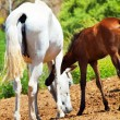 Stock Photo: Little Andalusifoal with mom in paddock, hot day . Spain