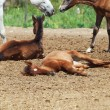 Spanish foals at the rest. Focus on sleeping foal — Stock Photo #14262839
