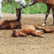 Stock Photo: Spanish foals at the rest. Focus on sleeping foal