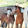 Little Andalusifoals with moms in paddock. Spain — Stock Photo #14444107