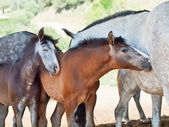 Little Andalusian foals with moms in paddock, hot day . Spain — Stock Photo