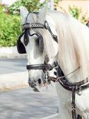 Carro caballo blanco en jeres retrato, españa — Foto de Stock