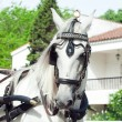 Portrait of carriage white horse in Jeres,  Spain — Stock Photo