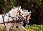 Carriage white horses in Jeres, Spain — Stock Photo