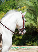 Portrait of Andalusian white horse in movement. Spain — Stock Photo