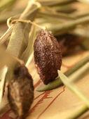Sun-dried olive fruit — Stock Photo