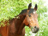 Beautiful Trakehner stallion in birch forest — Stock Photo