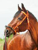 Beautiful breed stallion in spainish halter — Stock Photo