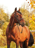 Beautiful brown sportive stallion autumn portrait — Stock Photo