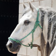 Portrait of andalusian stallion near the stable at the rest — Stock Photo