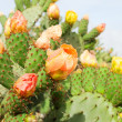 Prickly pear plant (cactus) in blossom after rain — Stock Photo