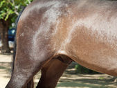 Croup and belly of Andalusian pure-bred stallion. Spain — Stock Photo