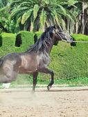 úžasné andaluských šedá mladý hřebec v pohybu. španělsko — Stock fotografie